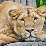 tambako_lioness